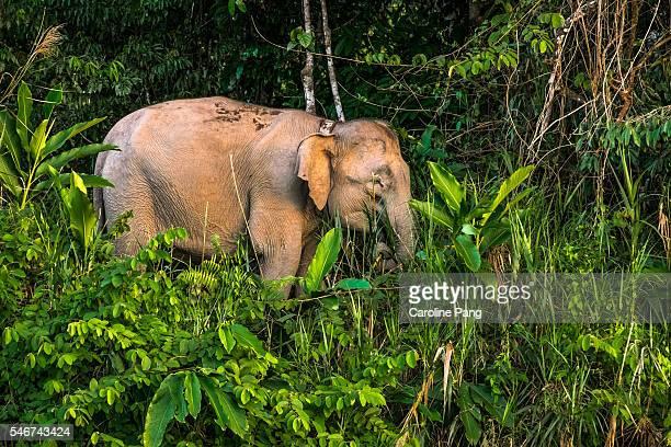 borneo pygmy elephant, individual. - island of borneo stock pictures, royalty-free photos & images