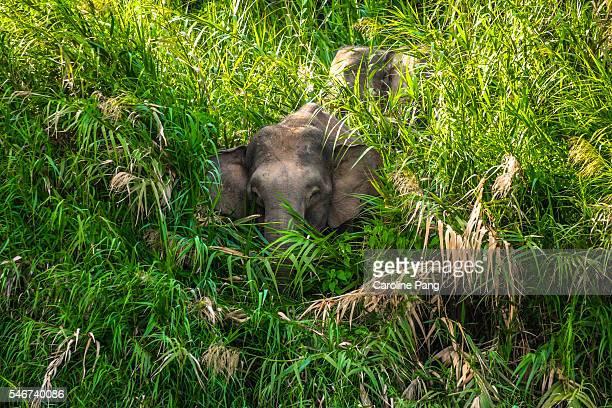 Borneo Pygmy Elephants among the bushes.