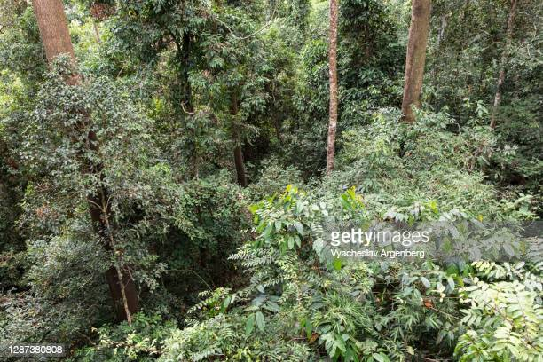 borneo rainforest, tree canopy, borneo, malaysia - argenberg stock pictures, royalty-free photos & images
