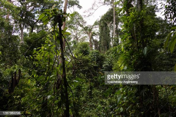 borneo tropical rainforest, dipterocarp trees, borneo, malaysia - argenberg stock pictures, royalty-free photos & images