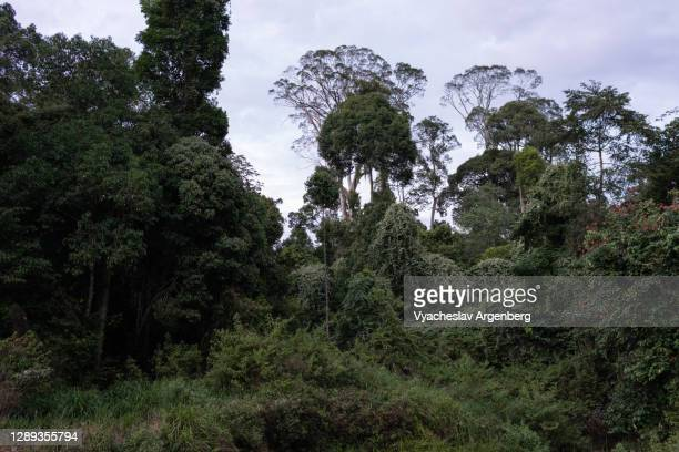 borneo tropical rainforest, maliau basin - dipterocarp tree stock pictures, royalty-free photos & images