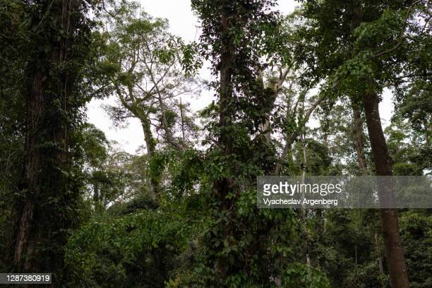 borneo tropical rainforest, tall dipterocarp trees, borneo, malaysia - argenberg stock pictures, royalty-free photos & images