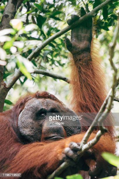borneo wildlife and jungle - great ape stock pictures, royalty-free photos & images