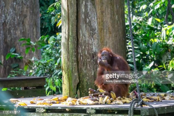 borneon orangutan pongo pygmaeus at sepilok sandakan sabah - nature reserve stock pictures, royalty-free photos & images