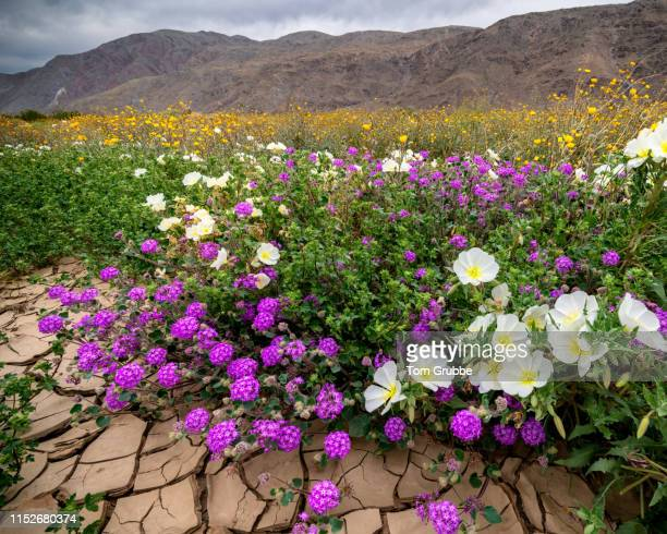 borrego bouquet - tom grubbe stock pictures, royalty-free photos & images