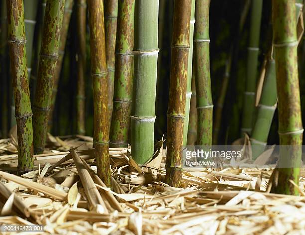 bory bamboo, ground view - black bamboo stock pictures, royalty-free photos & images