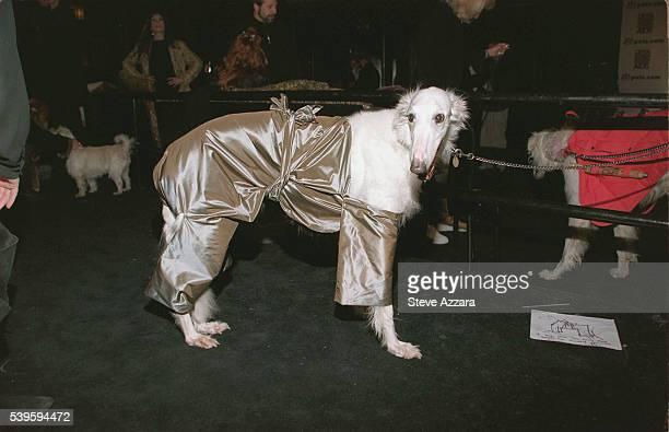 Borzoi in designer doggywear