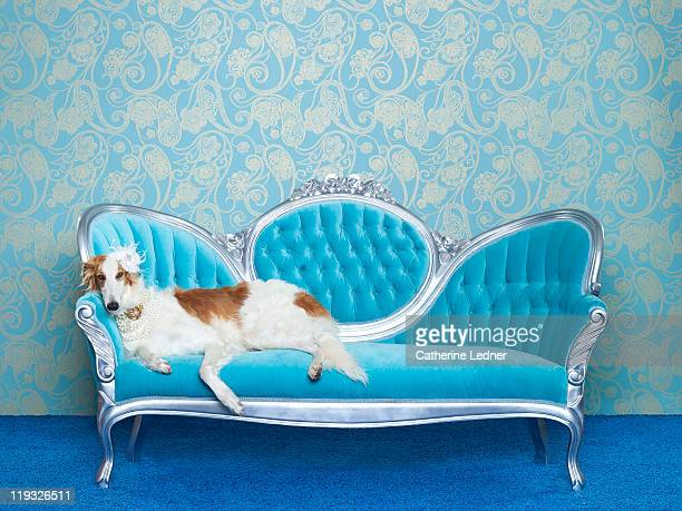 borzoi (canis lupus familiaris) on couch - hound stock pictures, royalty-free photos & images