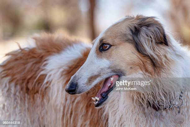 borzoi profile portrait - long nose stock photos and pictures