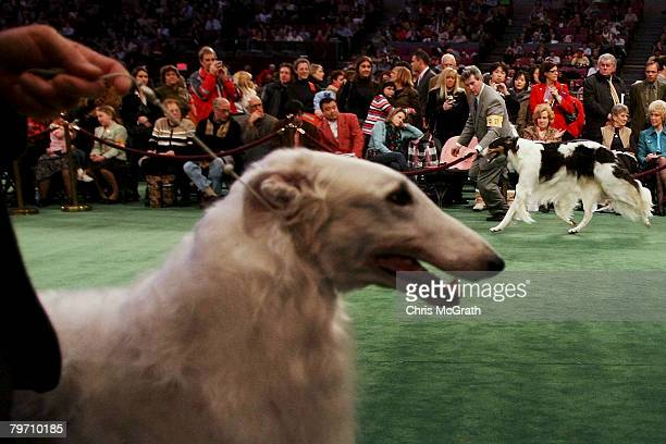 Borzois breeds are shown during the 132nd Annual Westminster Kennel Club Dog Show at Madison Square Garden February 11 2008 in New York City The...