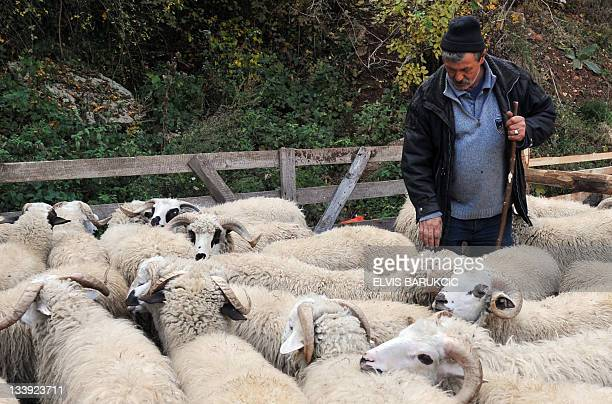 Bosnian Muslim Sabit Burek stands at an improvised sheep market attempting to attract customers to buy his sheep on the outskirts of Sarajevo on...