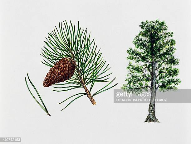 Bosnian pine Pinaceae tree leaves and fruit illustration