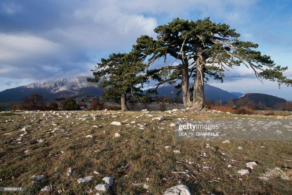 Bosnian Pines, Pollino National Park, Calabria : News Photo