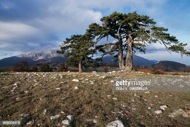 Bosnian Pines Pollino Plain Pollino National Park Calabria Italy