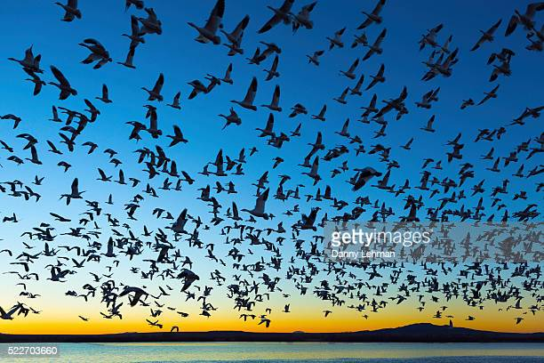 bosque del apache national wildlife refuge, new mexico - flock of birds stock pictures, royalty-free photos & images