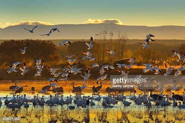 bosque del apache national wildlife refuge - chihuahua desert stock pictures, royalty-free photos & images