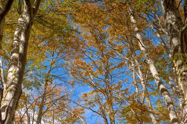 Bosque otoñal caducifolio en perspectiva - Parque Nacional Malalcahuello-Nalcas