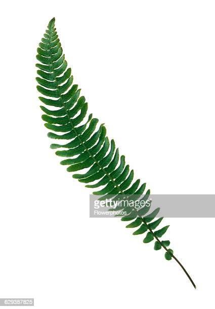Boston fern Nephrolepis exaltata 'Bostoniensis'