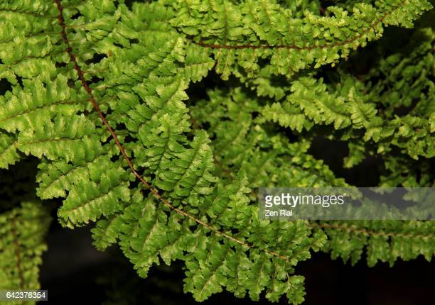 Boston fern - Nephrolepis Exaltata - Fluffy Ruffles Fern - Sword fern - close-up on black background