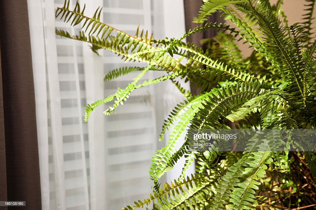Boston fern sitting near window : Stock Photo