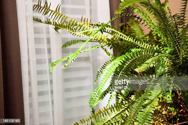 Boston fern sitting near window