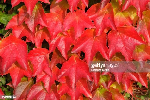 Boston ivy (Parthenocissus tricuspidata), Lower Saxony, Germany
