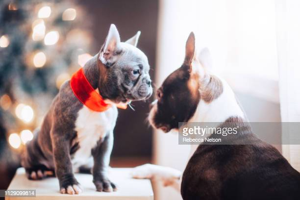Boston Terrier and French Bulldog in red Christmas bow avoiding eye contact