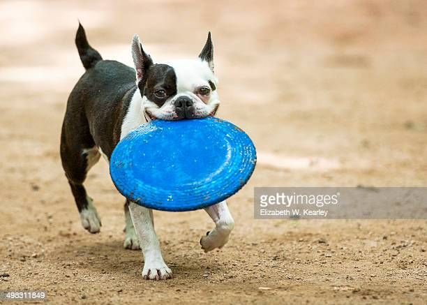 boston terrier at play at dog park - boston terrier stock pictures, royalty-free photos & images