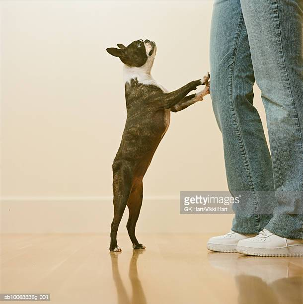 boston terrier begging for food - boston terrier stock pictures, royalty-free photos & images
