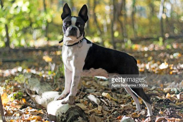 boston terrier bitch - boston terrier stock pictures, royalty-free photos & images
