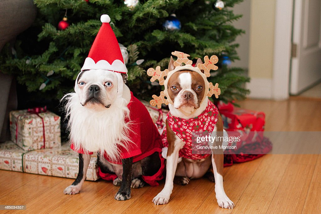 Boston terrier Christmas : Stock Photo