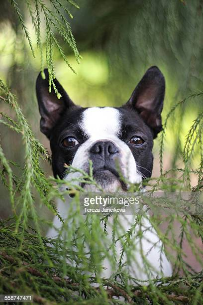 Boston Terrier dog between green twigs