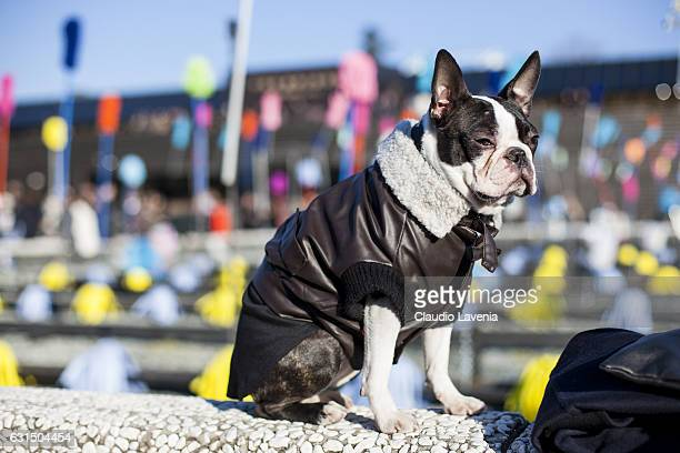 Boston Terrier dog, Ego thebostie, is seen on January 10, 2017 in Florence, Italy.