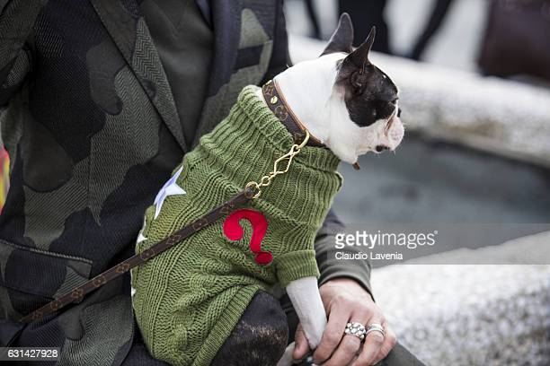 Boston Terrier dog Ego thebostie with Louis Vuitton dog collar is seen on January 10 2017 in Florence Italy