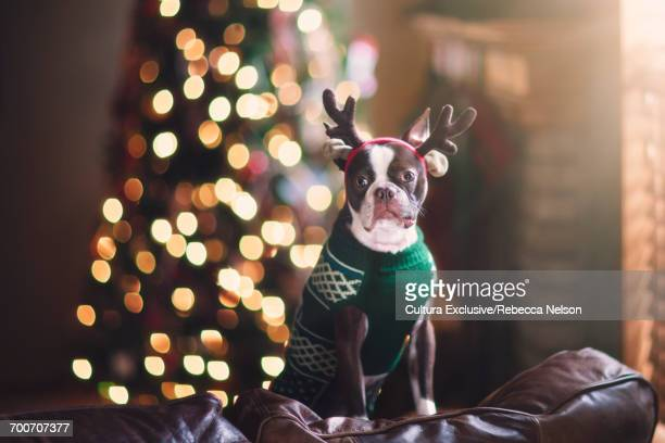 Boston Terrier dog in holiday sweater and reindeer antlers in front of Christmas tree