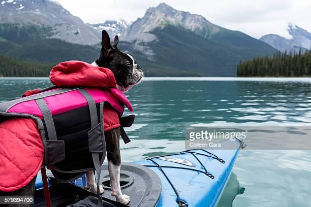 boston terrier dog in kayak on maligne lake, jasper national park - life jacket stock pictures, royalty-free photos & images