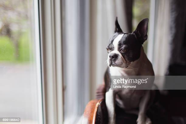 Boston terrier dog looking throw a window