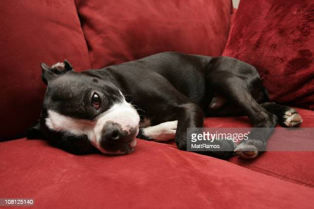 Boston Terrier Dog Lying on Couch