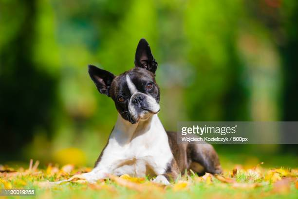 boston terrier dog on a green lawn in autumn scenery - boston terrier stock pictures, royalty-free photos & images