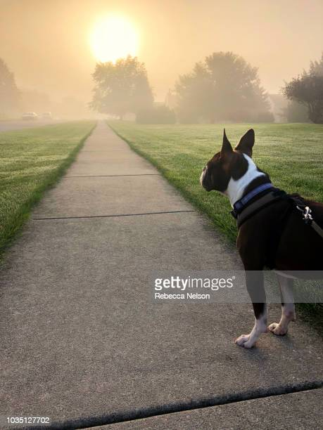 boston terrier dog on a walk at sunrise - boston terrier stock photos and pictures