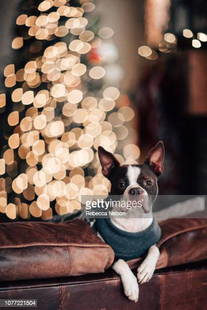Boston Terrier dog on sofa in front of Christmas tree