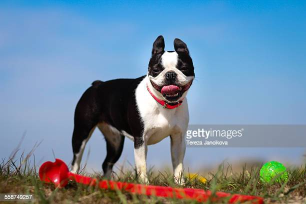Boston Terrier dog panting