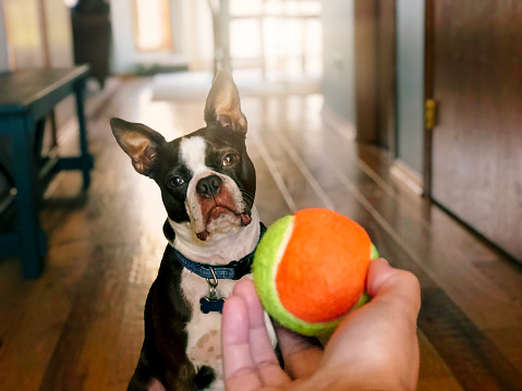 Boston Terrier dog playing with tennis ball - gettyimageskorea