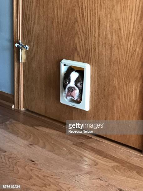 boston terrier dog poking head through cat door - demasiado pequeño fotografías e imágenes de stock
