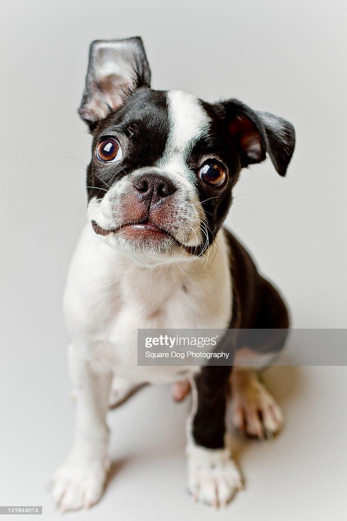 Boston Terrier dog puppy : Bildbanksbilder