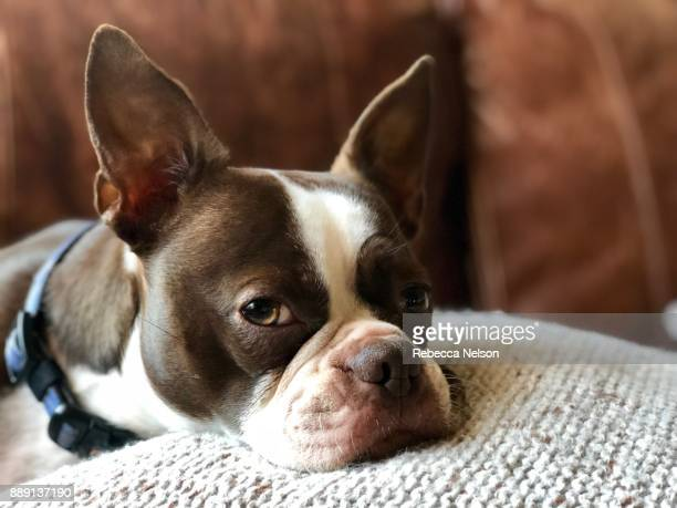 boston terrier dog relaxing on pillow - boston terrier stock photos and pictures