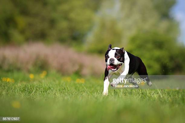 Boston terrier dog running over meadow
