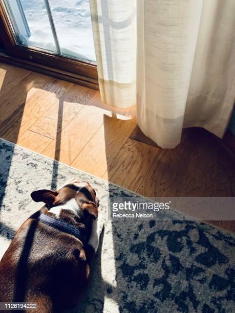 Boston terrier dog sleeping in front of window on snowy winter day