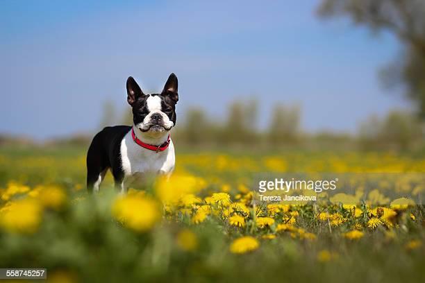Boston Terrier dog standing in dandelion field