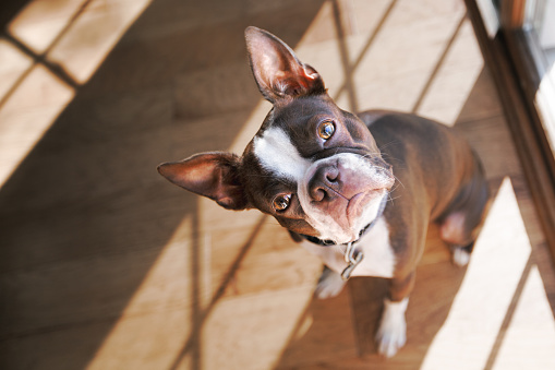 Boston Terrier dog with head cocked - gettyimageskorea